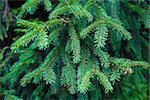 Green fir-tree branch background. Shallow depth of field. Selective focus.