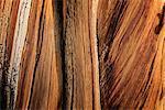 Warm light on bristlecone pine