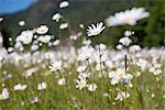 Wild daisies, Olympic National Park, Washington, USA
