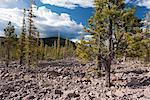 Evergreen trees growing in volcanic rock, Lassen Volcanic National Park, California, USA