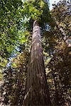 Giant trees, Redwood National Park, California, USA