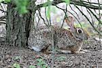 Alert rabbit crouching under a tree.
