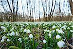 Landscape with Spring Snowflake (Leucojum vernum) Blooming in Swamp in Spring, Upper Palatinate, Bavaria, Germany