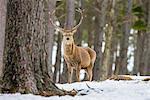 Red deer stag (Cervus elaphus), Scottish Highlands, Scotland, United Kingdom, Europe