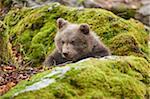 Portrait of Eurasian Brown Bear (Ursus arctos arctos) Cub in Bavarian Forest in Spring, Bavaria, Germany