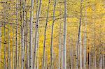 Tranquil yellow autumn birch trees