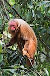 Red bald-headed Uakari monkey also known as British Monkey (Cacajao calvus rubicundus), Amazon state, Brazil, South America