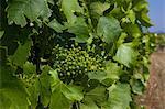 Grapes growing on vine in vineyard
