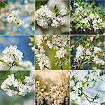 Beautiful spring blossoming plum tree closeups, low dof