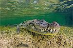 Underwater view American crocodile on seabed