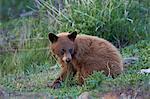 Black Bear (Ursus americanus), cinnamon yearling cub, Yellowstone National Park, Wyoming, United States of America, North America