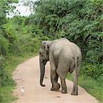 Asian elephant on dirt road