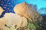 Giant fan coral