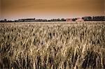 Field of tall grass in rural landscape