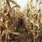 View through corn field
