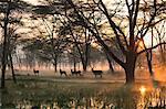 Small group of waterbuck (Kobus ellipsiprymnus), Lake Nakuru National Park, Kenya, Africa