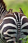 Red-billed oxpeckers (Buphagus erythrorhynchus) on burchells zebra's (Equus burchelli) back, Lake Nakuru National Park, Kenya, Africa