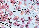 Flowering cherry-tree against the sky, Sweden.