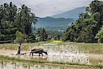Ploughing rice paddy fields with Water Buffalo near Bukittinggi, West Sumatra, Indonesia, Southeast Asia, Asia
