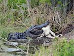 Large Florida Alligator Eating an Alligator