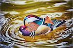 Mandarin Duck on the Water