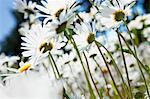 Sweden, Skane, Marguerites in meadow