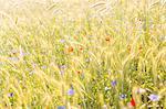 Sweden, Ostergotland, Barley (hordeum vulgare), poppies (Papaver rhoeas) and cornflowers (Centaurea cyanus)