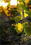 Sweden, Ostergotland, Grapes in vineyard at sunset