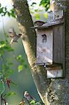Sweden, Narke, Family of Eurasian tree sparrows in birdhouse