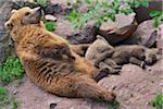 Brown Bear (Ursus arctos) Mother with Cubs Sleeping, Germany