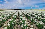A field of daffodils in bloom, Norfolk, England, United Kingdom, Europe