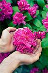 Sweden, Hands holding violet blossom