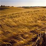 Sweden, Skane, Ystad, Wheat (Triticum aestivum) field in summer evening