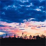 Sweden, Skane, Seved, Malmo, Pine tree (Pinus) in evening