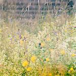 Sweden, Dalama, Furudal, Norboda, Gammelstad, Meadow of flowers: Campanula rotundifolia, Ranunculus acris, Anthriscus sylvestris, Geum rivale, Trifolium at summer evening
