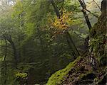 Sweden, Skane, Soderasens National Park, Klova Hallar, Green forest in fog