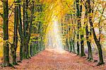 European Beech (Fagus sylvatica) forest Hoge Kempen National Park in autumn, Limburg, Vlaanderen (Flanders), Belgium