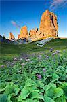 Europe, Italy, Veneto, Belluno. Flowering of Cavolaccio (Adenostyles alpina) at the foot of the Cinque Torri illuminated by the light of the sunset, Cortina d Ampezzo, Dolomites.