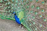 Peacock (Pavo Cristatus), Sequim, Olympic Peninsula, Washington, United States of America, North America