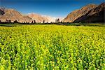 Growing Canola (rapeseed), Nubra Valley, Ladakh