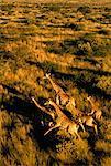 Giraffe Herd Running