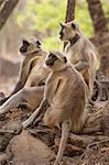 Langur monkey, Ranthambhore National Park, Rajasthan, India, Asia