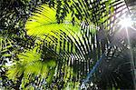 Details of palm fronds with sunburst at Finch Hatton Gorge in Eungella National Park, near Mackay, Queensland, Australia