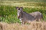 Kenya, Meru County, Lewa Wildlife Conservancy. A Grevy's Zebra stallion beside a swamp.