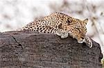 Kenya, Samburu County, Samburu National Reserve. A leopard rests on top of a rock.