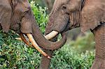 Kenya, Nyeri County, Aberdare National Park. Two bull elephants in a friendly encounter.
