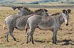 Kenya, Meru County, Lewa Wildlife Conservancy. Grevy's Zebras.