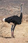 Kenya, Samburu County, Samburu National Reserve. A male Somali Ostrich.