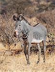 Kenya, Samburu County, Samburu National Reserve. A Grevy's zebra.