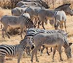 Kenya, Samburu County, Samburu National Reserve. A mixed herd of Common and Grevy's zebra.